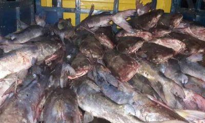মঞ্জু গাজীর জালে ধরা পড়া মেইদ মাছ