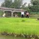 ভাসমান বীজতলায় কৃষকদের মাঝে ব্যাপক সাড়া