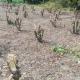 ঘুষ না দেওয়ায় ১০ বিঘা জমির ফুল বাগান ধ্বংস!