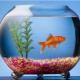 সৌন্দর্য বৃদ্ধির পাশাপাশি অ্যাকুরিয়ামে মাছ চাষ পদ্ধতি