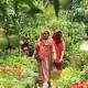উত্তরবঙ্গের কৃষি উন্নয়নে লাগানো হবে ৫ লাখ ফলদ বৃক্ষ