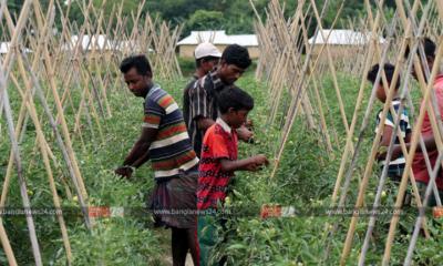 কমলগঞ্জে টমেটো চাষে বদলে যাচ্ছে কৃষকের দিন