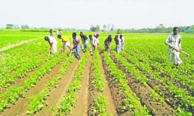 দিনাজপুরে নতুন মৌসুমের আলুতে লাভের আশায় কৃষক