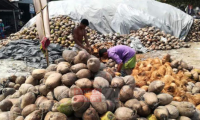 নারিকেলে চাঙ্গা লক্ষ্মীপুরের গ্রামীণ অর্থনীতি