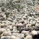 পতিত জমিতে চিনাবাদাম চাষে লাভবান হচ্ছেন কৃষক