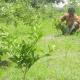 মাল্টায় নতুন স্বপ্ন দেখছে বগুড়ার চাষীরা
