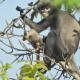 মিয়ানমারের জঙ্গলে নতুন প্রজাতির বানর আবিষ্কার