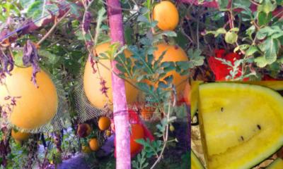 মিষ্টি রসে মন ভোলাবে বারোমাসি 'হলুদ তরমুজ'
