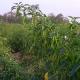 খাগড়াছড়িতে দেশি-উপসী জাতের মরিচে লাভবান কৃষক