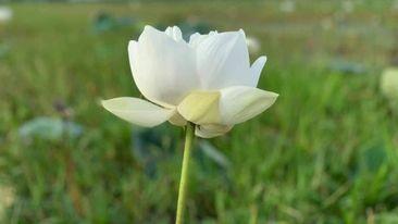 'গোমতী' নাম পেলো কুমিল্লার সেই হলুদ পদ্ম