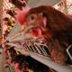 পোলট্রি: ব্রয়লারসহ বিদেশি মুরগি যেভাবে খাবারের টেবিলে জায়গা করে নিলো