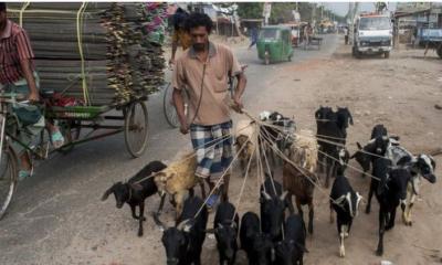 ছাগল: ব্ল্যাক বেঙ্গল গোট যেসব কারণে অনন্য