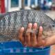 মনোসেক্স তেলাপিয়া: কবে, কোথা থেকে, কী করে বাংলাদেশে এসে জনপ্রিয় হয়ে গেলো এই বিদেশি মাছ?