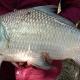 কার্পজাতীয় মাছ চাষের নতুন প্রযুক্তি উদ্ভাবন
