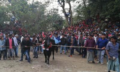নবাবগঞ্জে হলো গরু দৌড় প্রতিযোগিতা