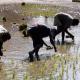 সরকারি সহায়তা পেয়ে বোরো ধান চাষে ঝুঁকছেন কৃষকরা