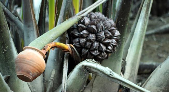 ২০০ পরিবারের জীবিকার মাধ্যম গোলের রস