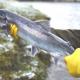 বিশ্বে মিঠা পানির মাছ কমছে, হারিয়ে যাচ্ছে বাংলাদেশের যেসব মাছ