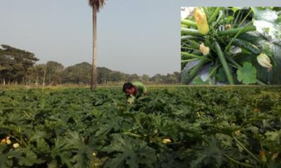 বোয়ালমারীতে বিদেশি সবজি স্কোয়াশ চাষ হচ্ছে