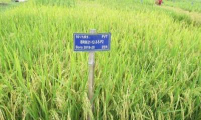 হাইজিংক সমৃদ্ধ ধানের জাত অবমুক্ত করবে বাংলাদেশ ধান গবেষণা ইনস্টিটিউট