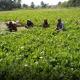 ডুমুরিয়ায় গ্রীষ্মকালীন সবজি চাষে লাভবান হয়েছেন বর্গাচাষী সুরেশ্বর মল্লিক
