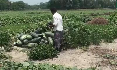 এবার চাঁদপুরের হাইমচরে বাঙ্গির বাম্পার ফলন