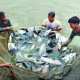 কুমিল্লায় চাহিদার দ্বিগুণ মাছ উৎপাদন