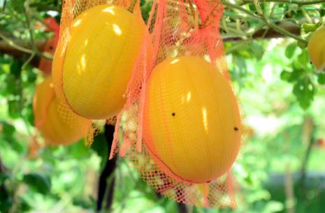 কুমিল্লায় হলুদ রঙের তরমুজ চাষে বাজিমাত