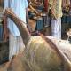 কুশিয়ারী নদীতে জেলের জালে দেড় মন ওজনের বাঘাইড় মাছ