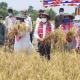 কৃষকের ফসল ঘরে তুলতে ধান কাটলেন ফরিদপুরের জেলা প্রশাসক