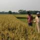 কেন্দুয়ায় ক্ষতিগ্রস্ত মাঠ পরিদর্শনে ব্রির বৈজ্ঞানিক কর্মকর্তারা