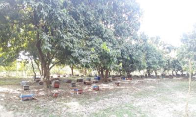 চিরিরবন্দরে লিচু বাগান থেকে এক কোটি ২০ লাখ টাকার মধু সংগ্রহ