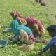 নড়াইলে কৃষকের মুখে মিষ্টি হাসি ফোটাল তেতো করলা