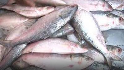 বরগুনার ইলিশ উৎসবে ৮ হাজার মণ মাছ বিক্রি
