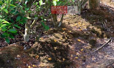 মাটিতে লুটোপুটি খাচ্ছে 'সুগন্ধি' গামারি ফুল