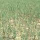 মেহেরপুরে পরীক্ষামূলকভাবে বারি-৫ জাতের পেঁয়াজ চাষে সফলতা