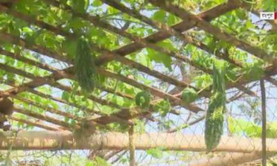 রংপুর নগরীর অনেক ছাদবাগানই এখন ছাদকৃষি