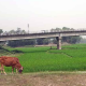 টাঙ্গাইলের ধলেশ্বরী নদীর বুকে সবুজের সমারোহ