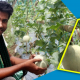 করোনাকালে সাম্মাম চাষ করে সফল কলেজছাত্র খোকন