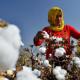 চলতি মৌসুমে কমতে পারে ভারতের তুলা উৎপাদন