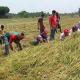 ঝিনাইদহে কৃষকের ধান কেটে দিল স্বেচ্ছাসেবক লীগ