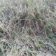 নাজিরপুরে কারেন্ট পোকায় মরছে ধান গাছ ,শ্রমিক সংকট নিয়ে বিপাকে কৃষক