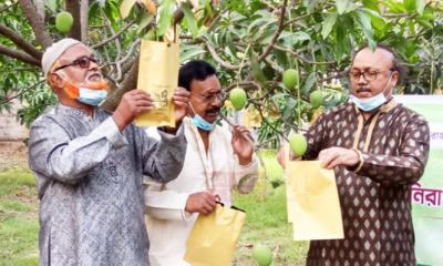 রাজশাহীতে আমের 'ফ্রুট ব্যাগিং' কার্যক্রম শুরু