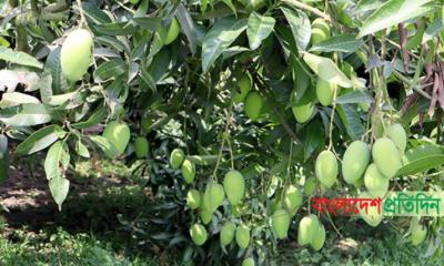 ঠাকুরগাঁওয়ে আমের বাম্পার ফলন