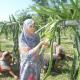 ড্রাগন ফলের চাষ করেই হলেন রংপুরের প্রথম নারী কৃষি উদ্যোক্তা
