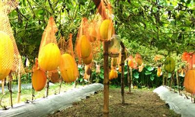 দিনাজপুরে বারোমাসি তরমুজ ও সবজি চাষে স্বাবলম্বী নারীরা