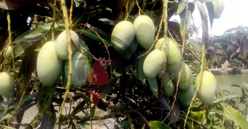 পিরোজপুরে আমের বাম্পার ফলন