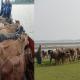 বরিশালে ৭৪ গরু-মহিষসহ চোর সর্দার আটক