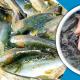 বাণিজ্যিকভাবে থাই কৈ মাছ চাষ করার পদ্ধতি