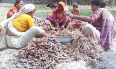 ভরা মৌসুমে হলুদের দাম নেই : চাষিরা বিপাকে